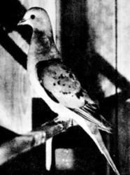 porumbelul pasager
