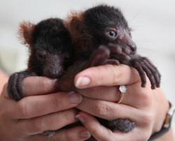 pui de lemur