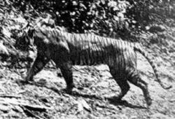 tigrul din java