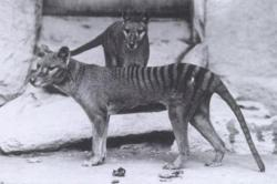 tigrul tasmanian