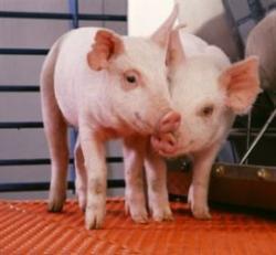 virusul gripei porcine