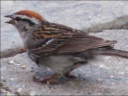 vrabie piromana