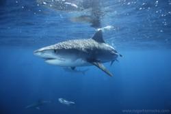 tiger-shark-roger-horrocks.jpg