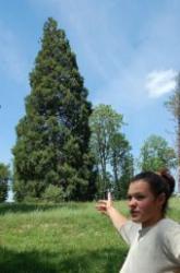 arbori sequoia