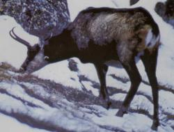 capre negre