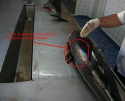 Salvati Delfinii - Echipa Oceanic Club a inregistrat inca 3 delfini esuati