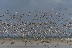 Marea Wadden