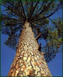 arbori modificati genetic