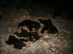 relocare ursi
