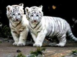 tigrisori albi