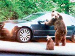 ursi relocati