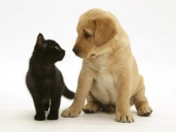 1140677black-domestic-kitten-felis-catus-and-labrador-puppy-canis-familiaris-looking-at-each-other-posters.jpg