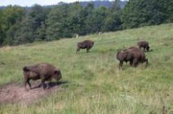 bison land