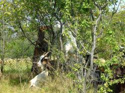 capre in copac