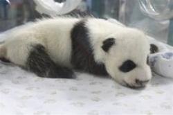 Nasterea unui pui de ursulet Panda
