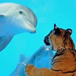 delfin tigru