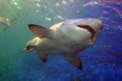 femela rechin