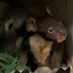 gemeni koala