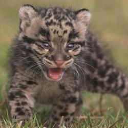 leopard marmorat