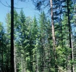 matureforestdougfir.jpg