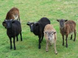 """Proiect de 65.000 de lei in Galati: Turme de oi care sa """"tunda"""" iarba si gradini pe acoperisul blocurilor"""