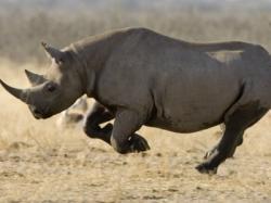 rinocerul