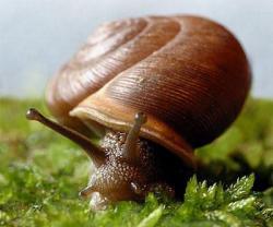 snailmesodonclausus01.jpg