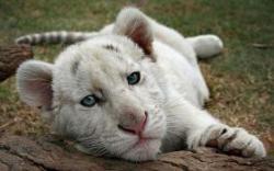 tigru fara dungi