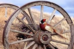 vanatoare de fazani