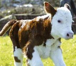 vitel