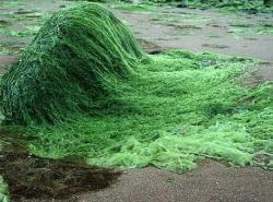 alge verzi