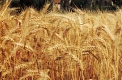 Productii record la graul fertilizat cu dolomita