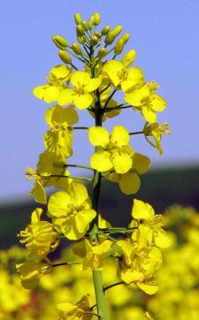 Monsanto a donat agricultorilor galateni samanta de rapita pentru 1.200 ha