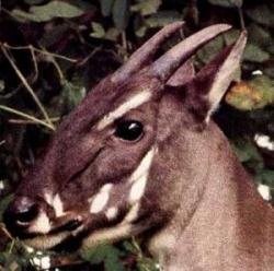 Antilopele Saola