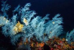 Corali negri