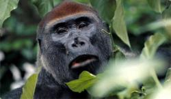 gorile
