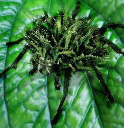 paianjen-feriga