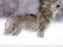 În România trăiesc peste 30 la sută din populaţiile de urşi şi lupi ai Europei