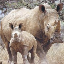 pui rinocer