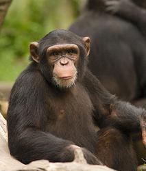 puii de cimpanzeu
