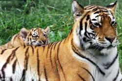 tigrii.jpg