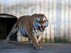 tigrul evadat