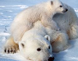 ursi polari