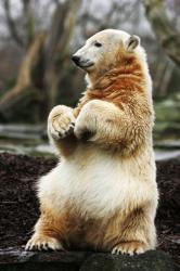 ursul polar Knut