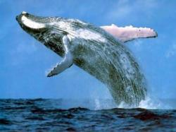 adn balene