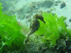 calut de mare