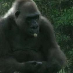 gorila Josephine