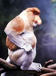 Maimuta cu Trompa