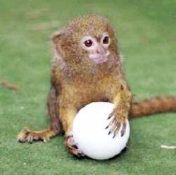 Maimuta pitica