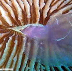 coral mananca o meduza